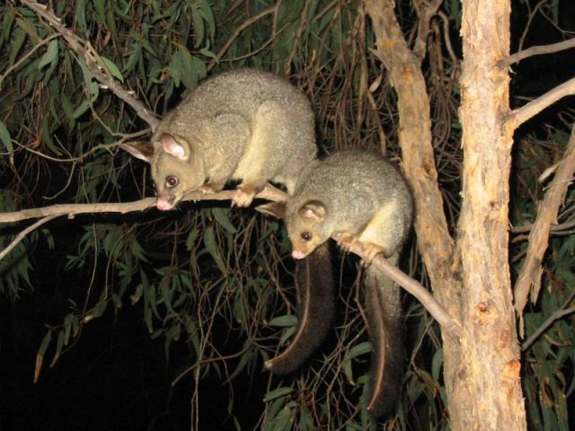 The brushtail possum (Trichosurus vulpecula) is a semi-arboreal mammal in decline in the northern savannas. (Photo: Peter Firminger)