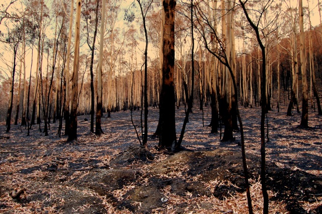 Burnt alpine ash (Eucalyptus delgatensis) forest. (Photo: Elizabeth Donoghue)